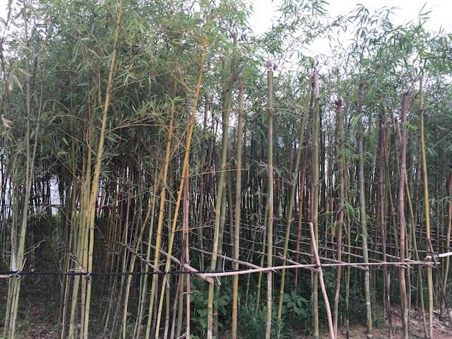螺溪谷竹林